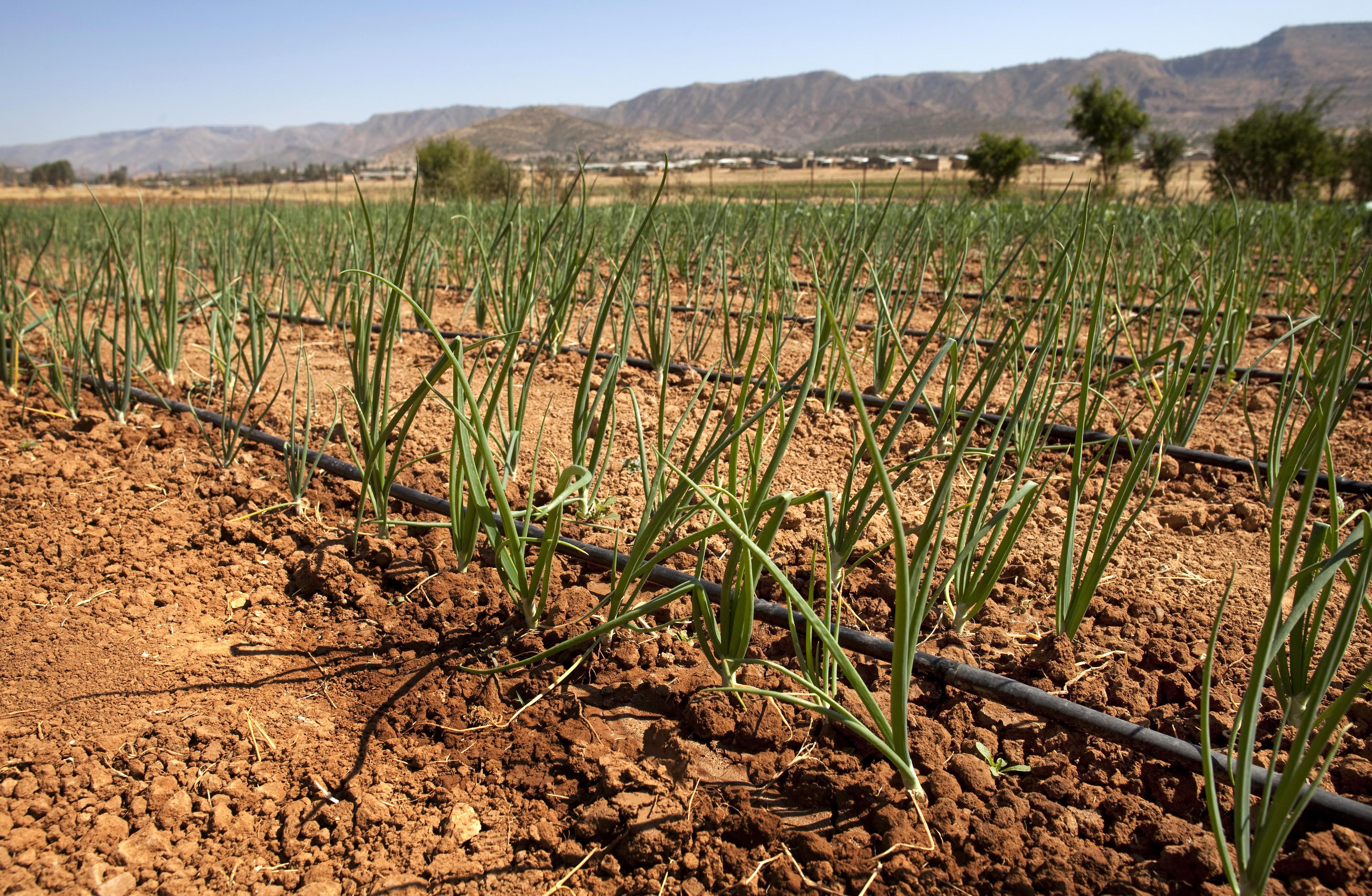 Tröpfchenbewässerung auf einem Feld in Äthiopien