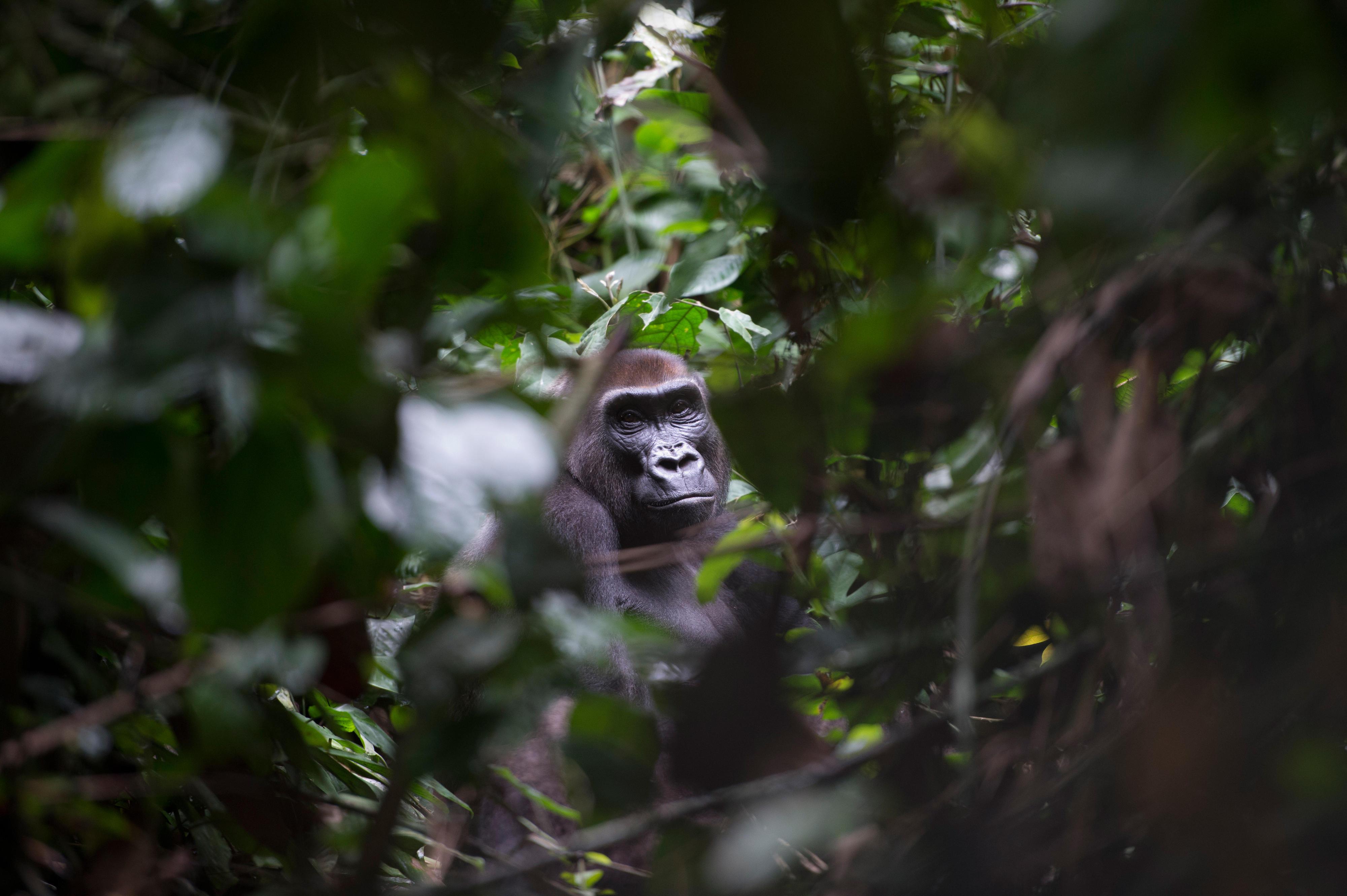 Ein Western Lowland Gorillaim Dzanga-Nationalpark im Dreiländereck Kongo, Kamerun und Zentralafrikanische Republik