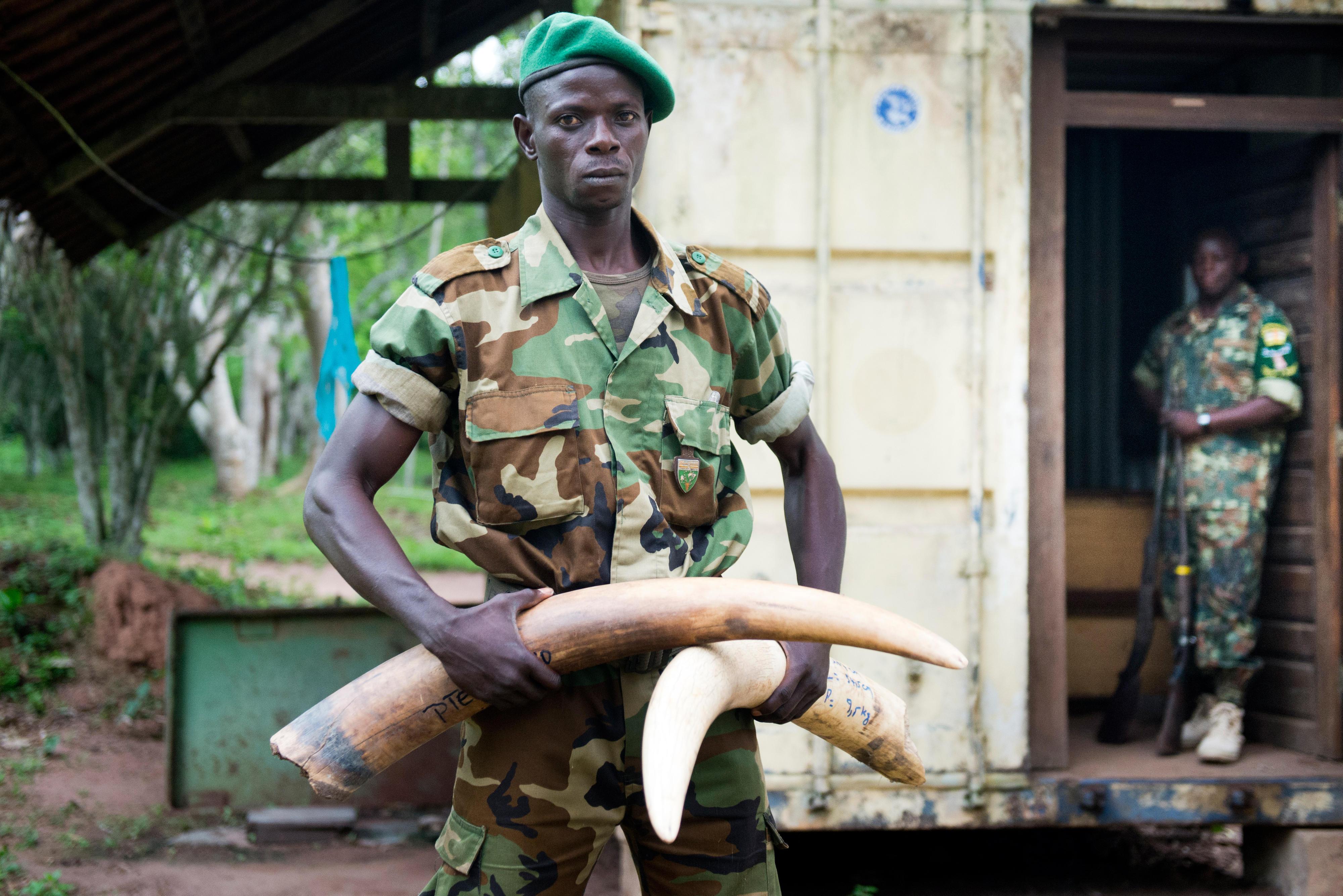 Ein Soldat der Eco-Guards im Dzanga-Nationalparks im Dreiländereck Kongo, Kamerun und Zentralafrikanische Republikzeigt Elfenbeinstoßzähne von Waldelefanten, die bei Wilderern konfisziert wurden.