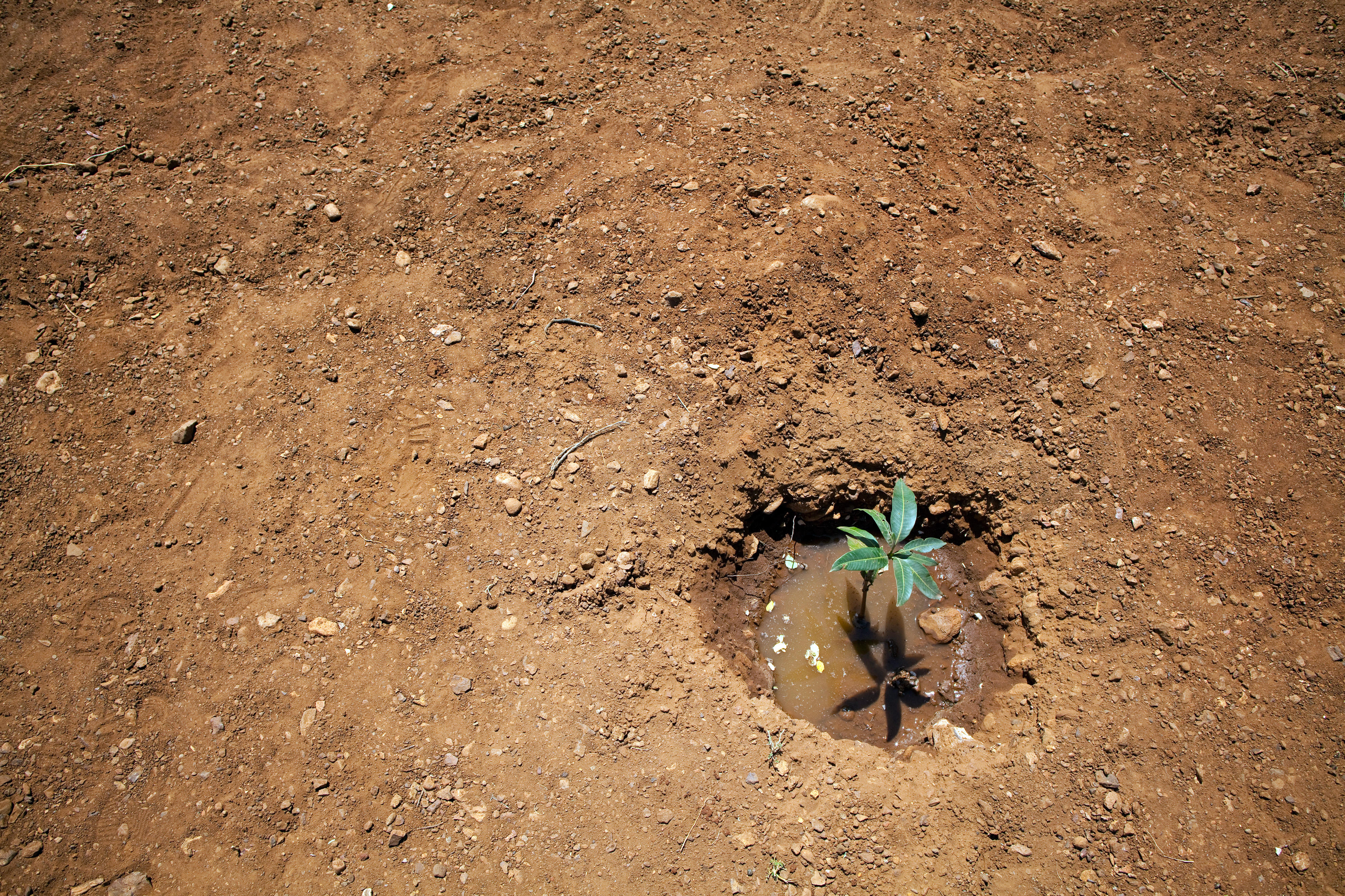 Setzling auf einem Acker im Norden Kenias