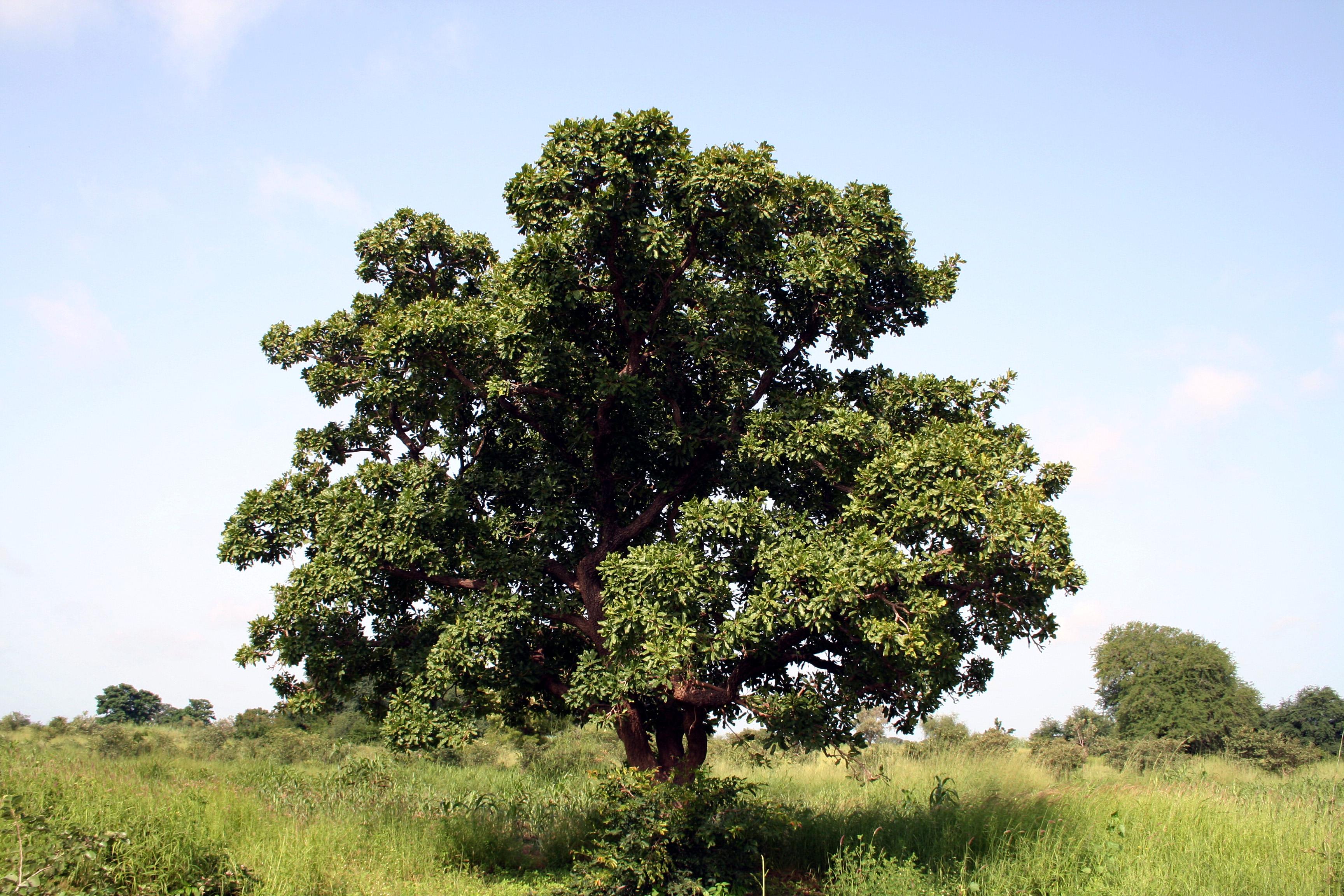 Ein Karitébaum, der auch Afrikanischer Butterbaum genannt wird, in einer afrikanischen Savanne. Aus den Nüssen dieser Bäume wird ein als Sheabutter bezeichnetes Pflanzenfett gewonnen.