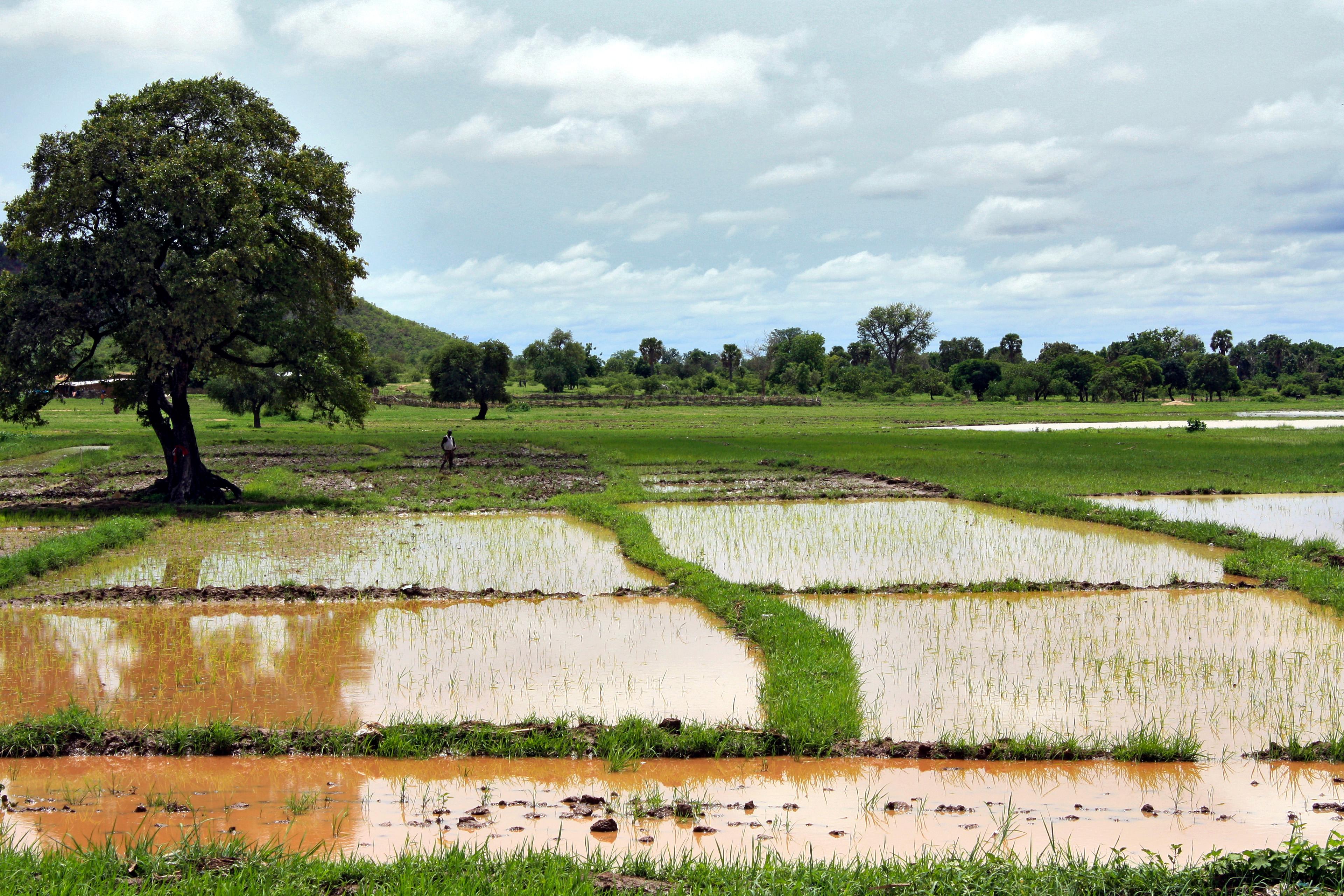 Reisfelder in Benin