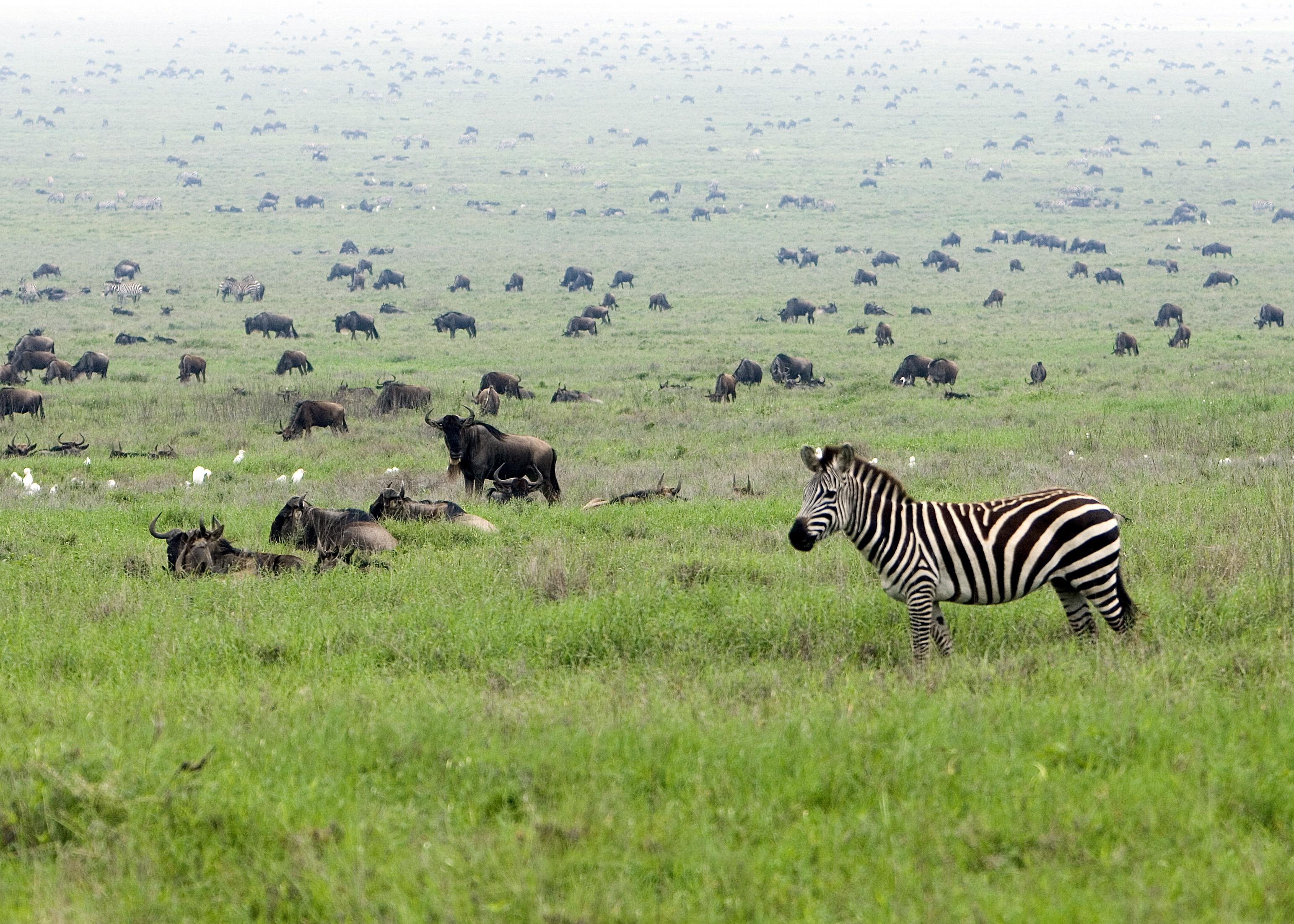 Zebras und Gnus in der Serengeti in Tansania