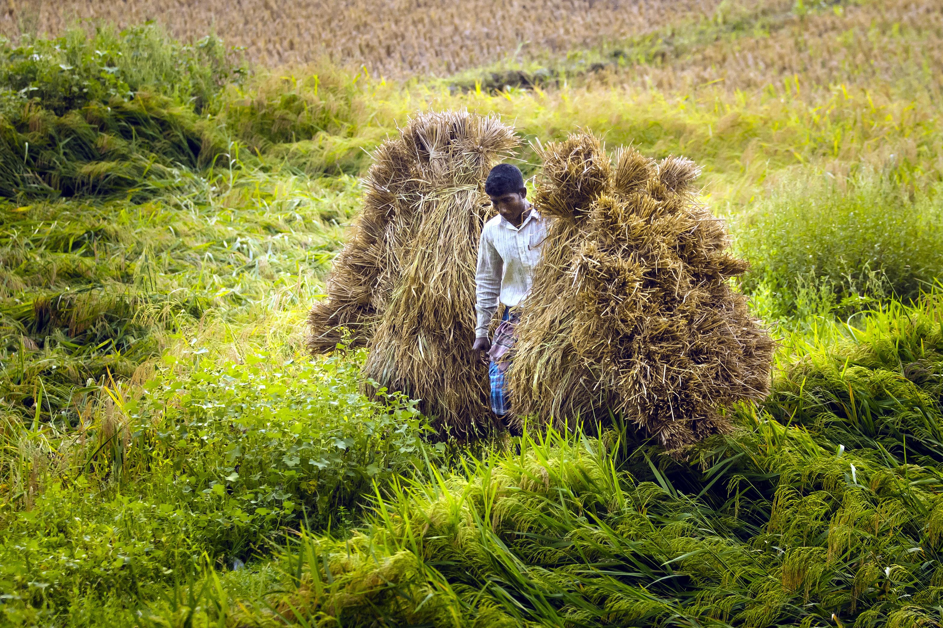Reisernte in Mongla, im Südwesten von Bangladesch