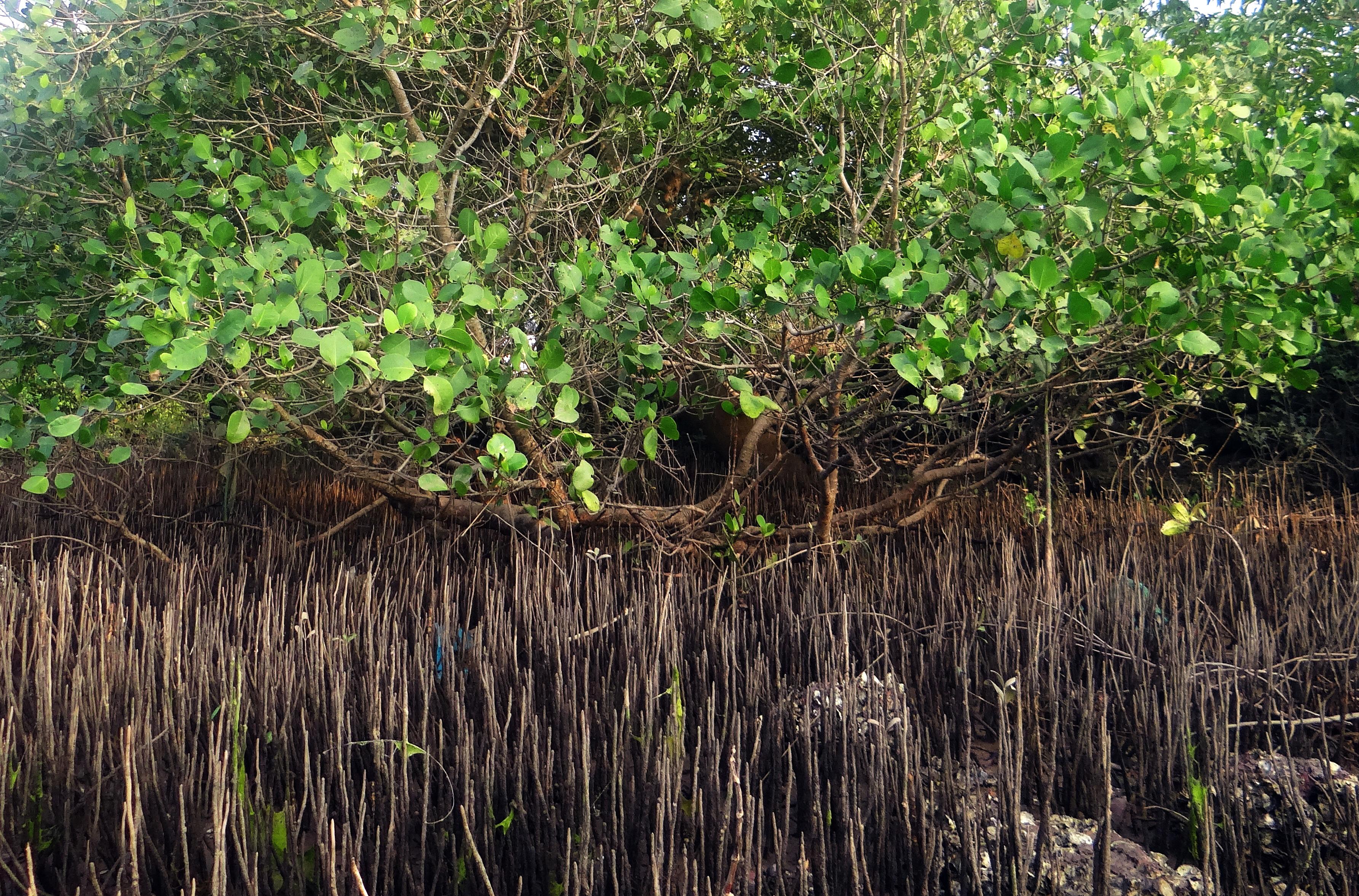 Mangroven in Indien