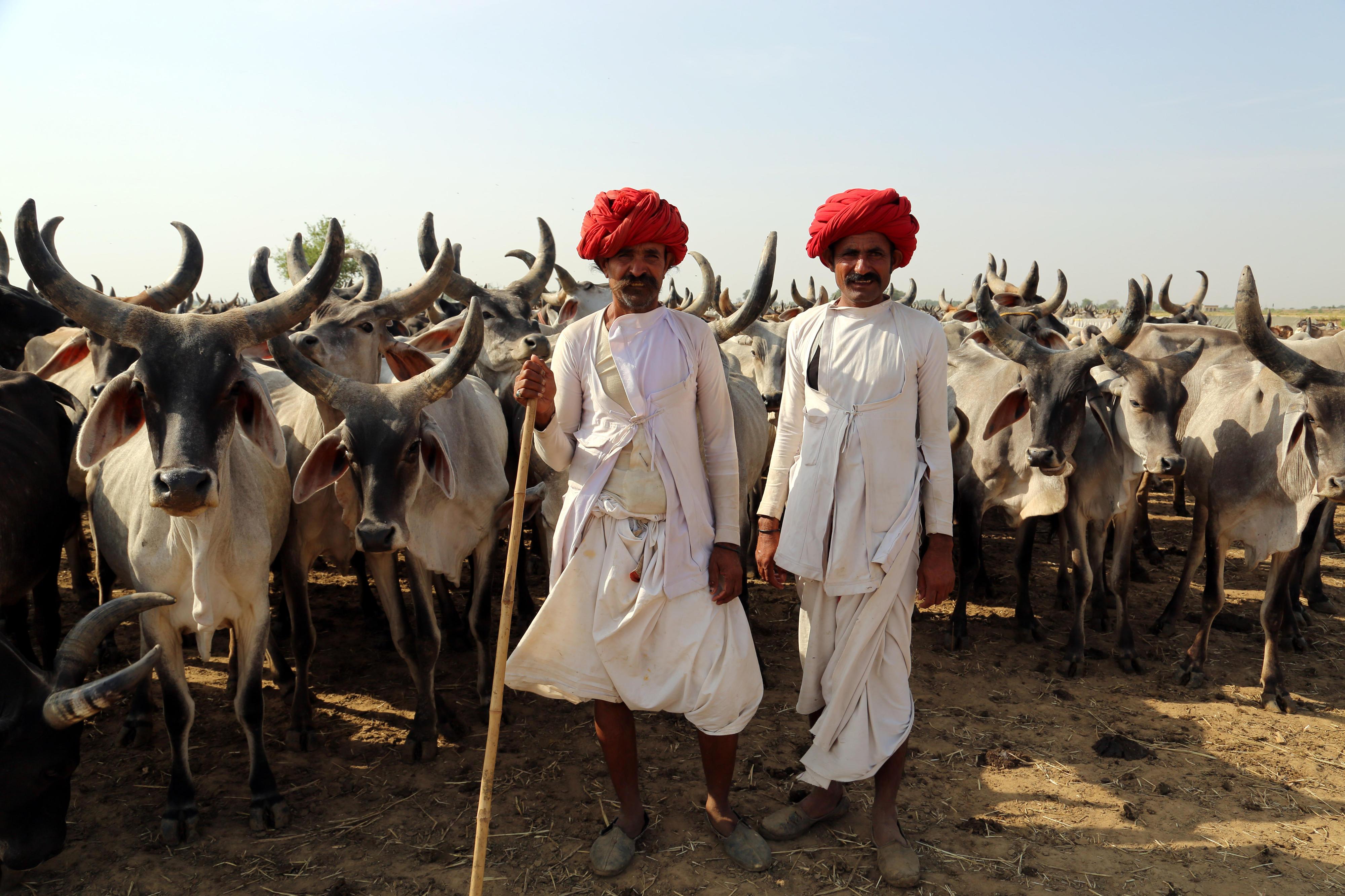 Die Raikas, eine nomadische Gemeinschaft in Rajasthan, treiben ihre Herden auf der Suche nach Wasser und Futter regelmäßig in wechselnde Weidegebiete, da es in der Region nur wenige und unregelmäßige Niederschläge und häufige Dürren gibt.
