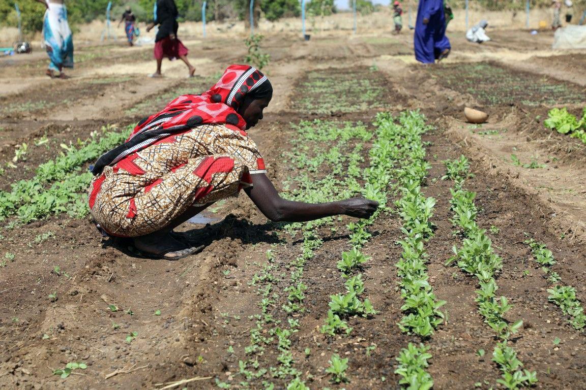 Im Tschad wird die lokale Bevölkerung beim Anbau von Gemüse unterstützt, das für Schulmahlzeiten der Kinder benötigt wird.