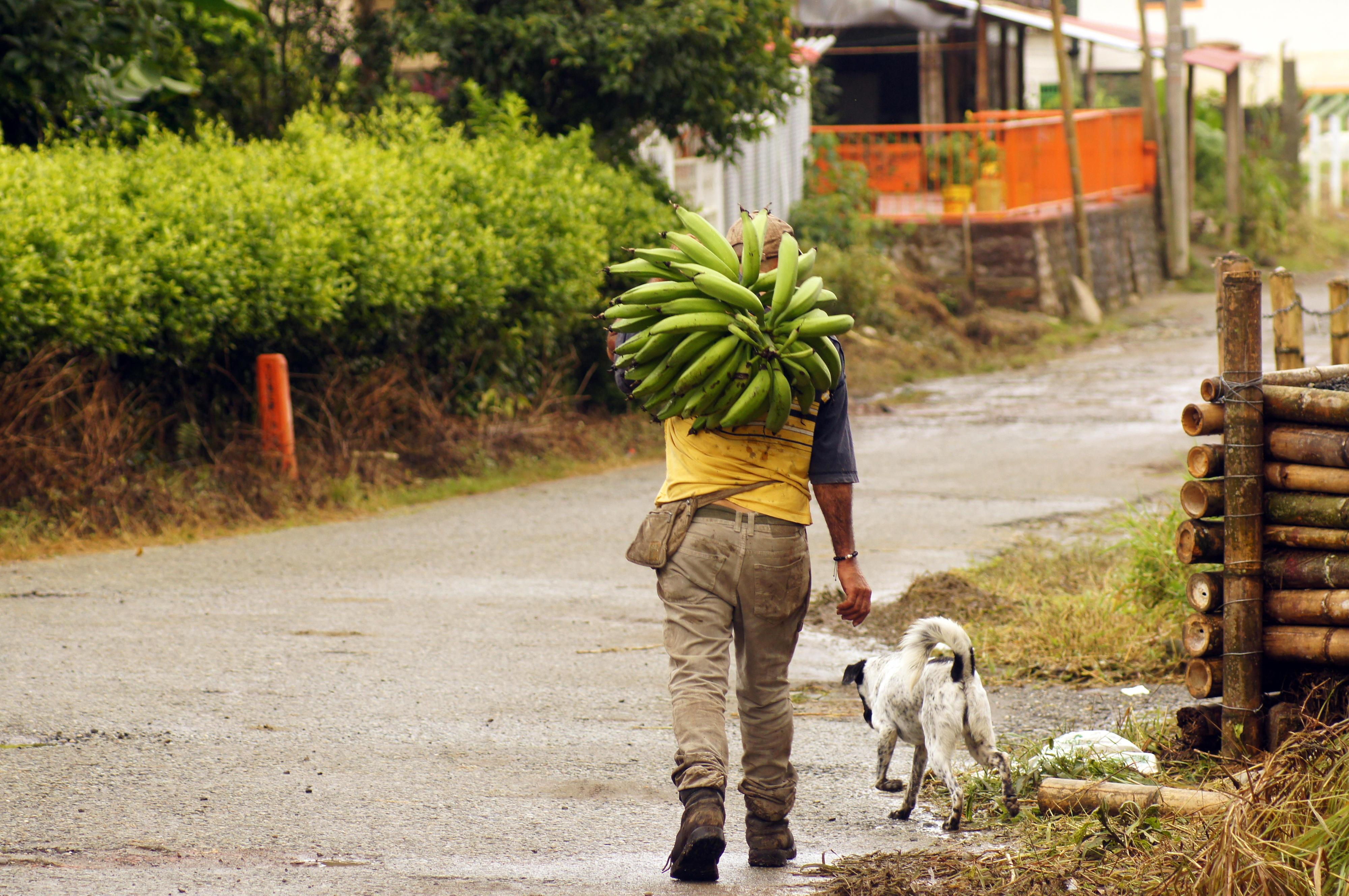 Ein Bauer in der Provinz Quindío, Kolumbien