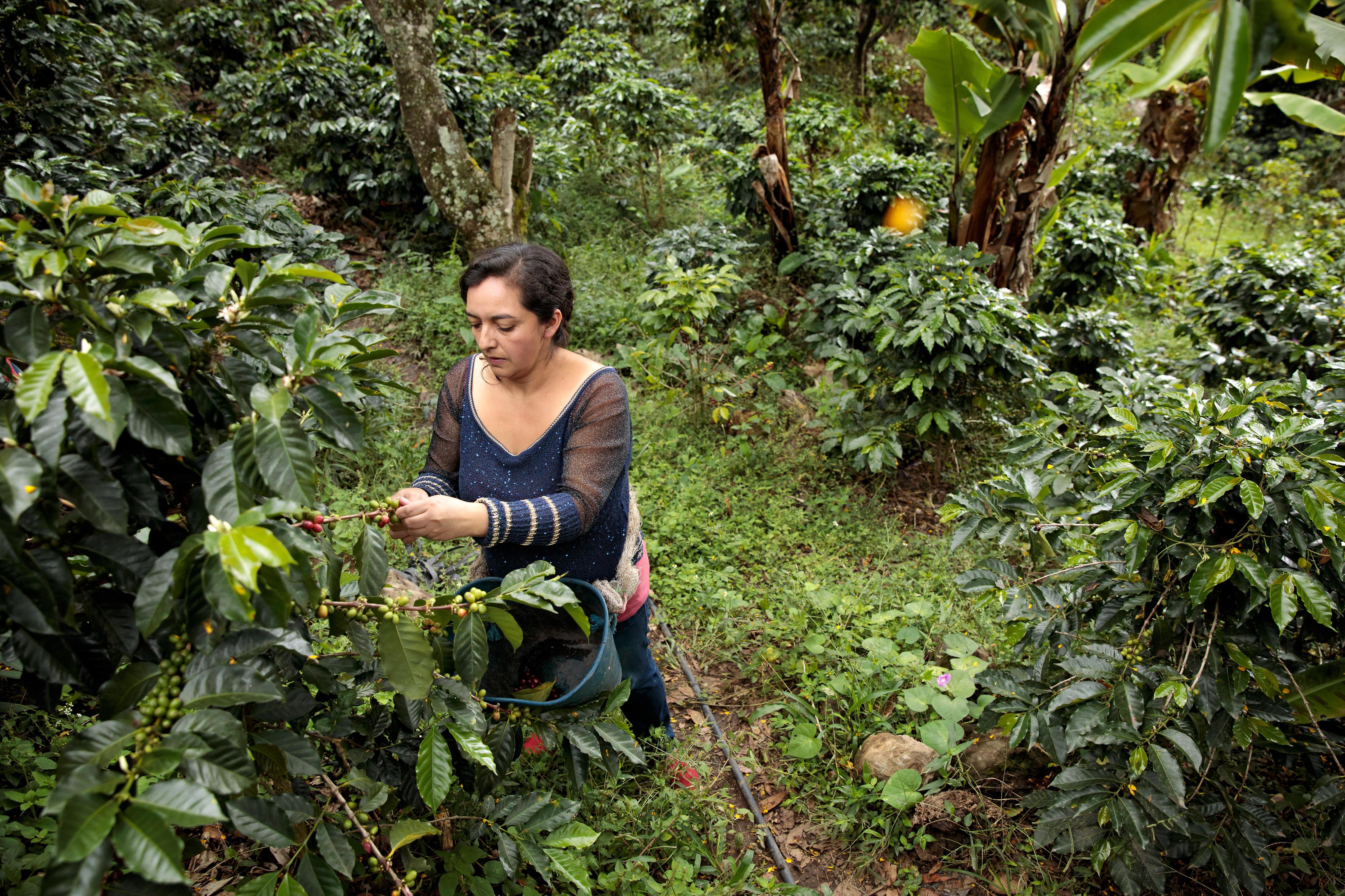 Cielo Gomez, eine Kaffeebäuerin El Tablón de Gómez, im Südosten des Nariño-Territoriums in Kolumbien. Ihre Familie hat im Rahmen des Friedensprozesses Land, das illegal besetzt war, wieder zurückerhalten. Durch ein UN-Women-Projekt hat sie erreicht, dass ein Teil des Landes auf ihren Namen eingetragen ist. Gemeinsam mit anderen Kaffeebäuerinnen in der Region kann sie sich jetzt eine wirtschaftlich stabilere Zukunft aufbauen.