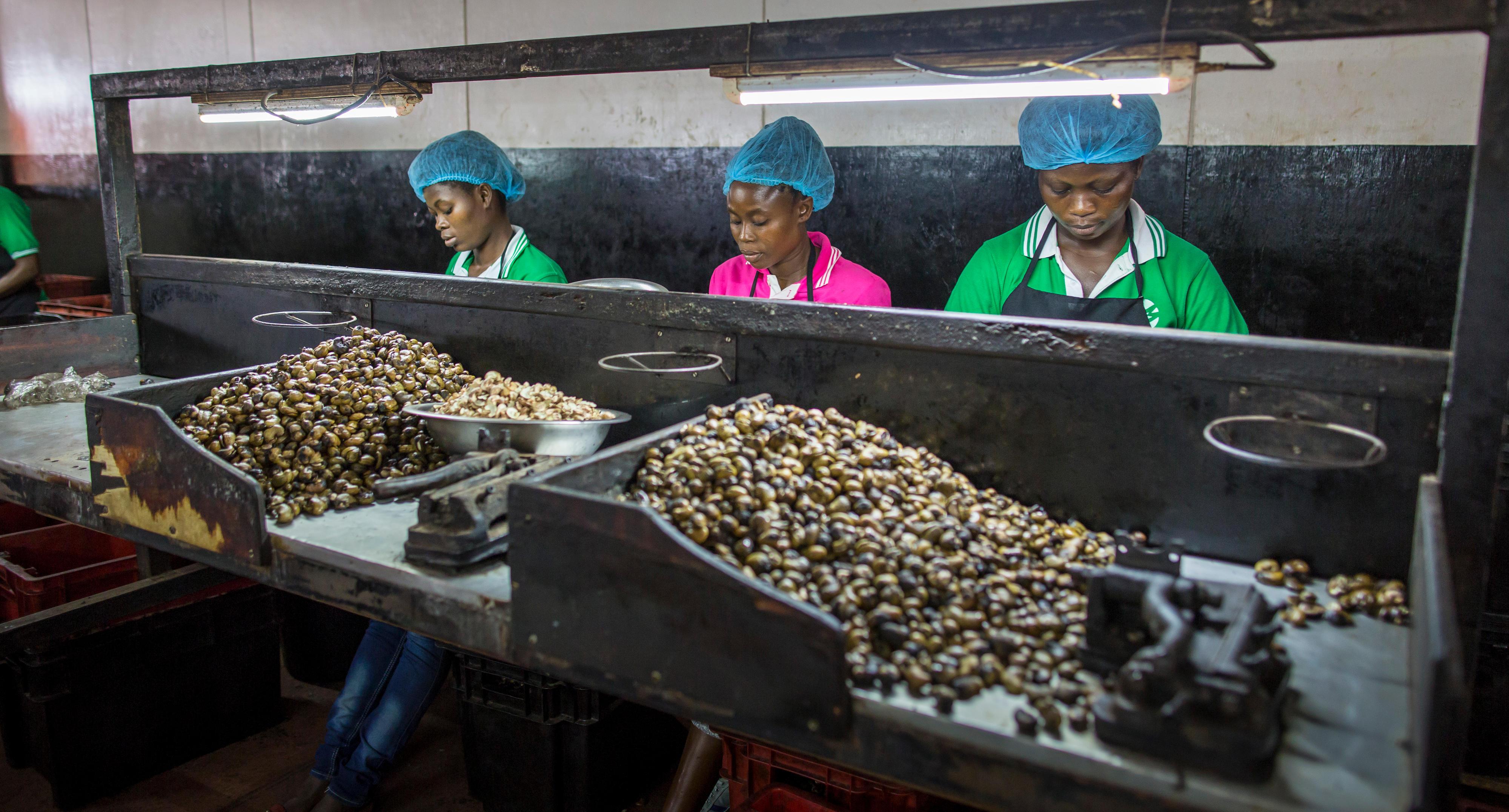 Mitarbeiter in einem Betrieb in Ghana, der Cashewnüsse verarbeitet