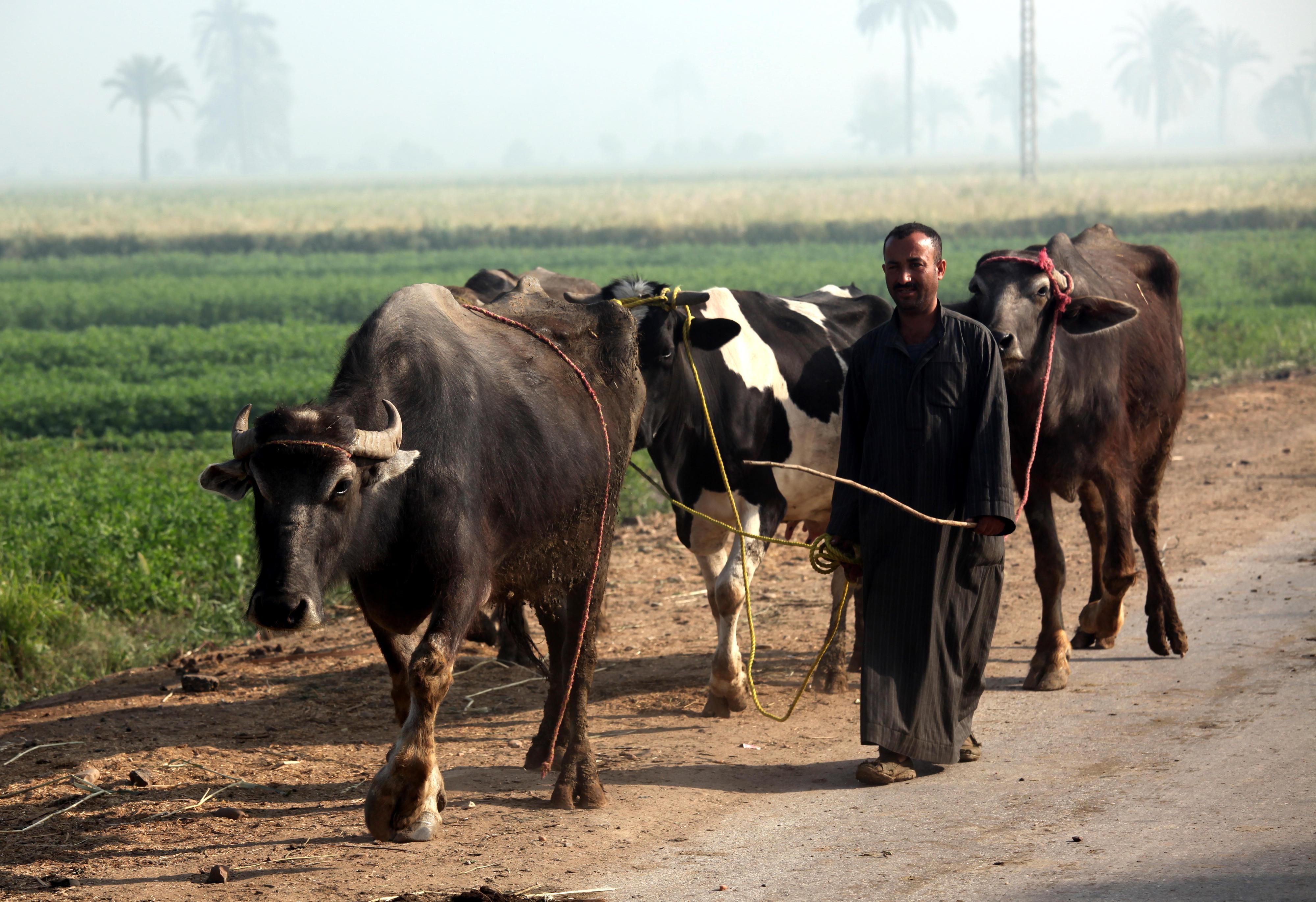 Ein Bauer in der El-Minya-Region in Ägypten mit zwei Wasserbüffeln und einer Milchkuh