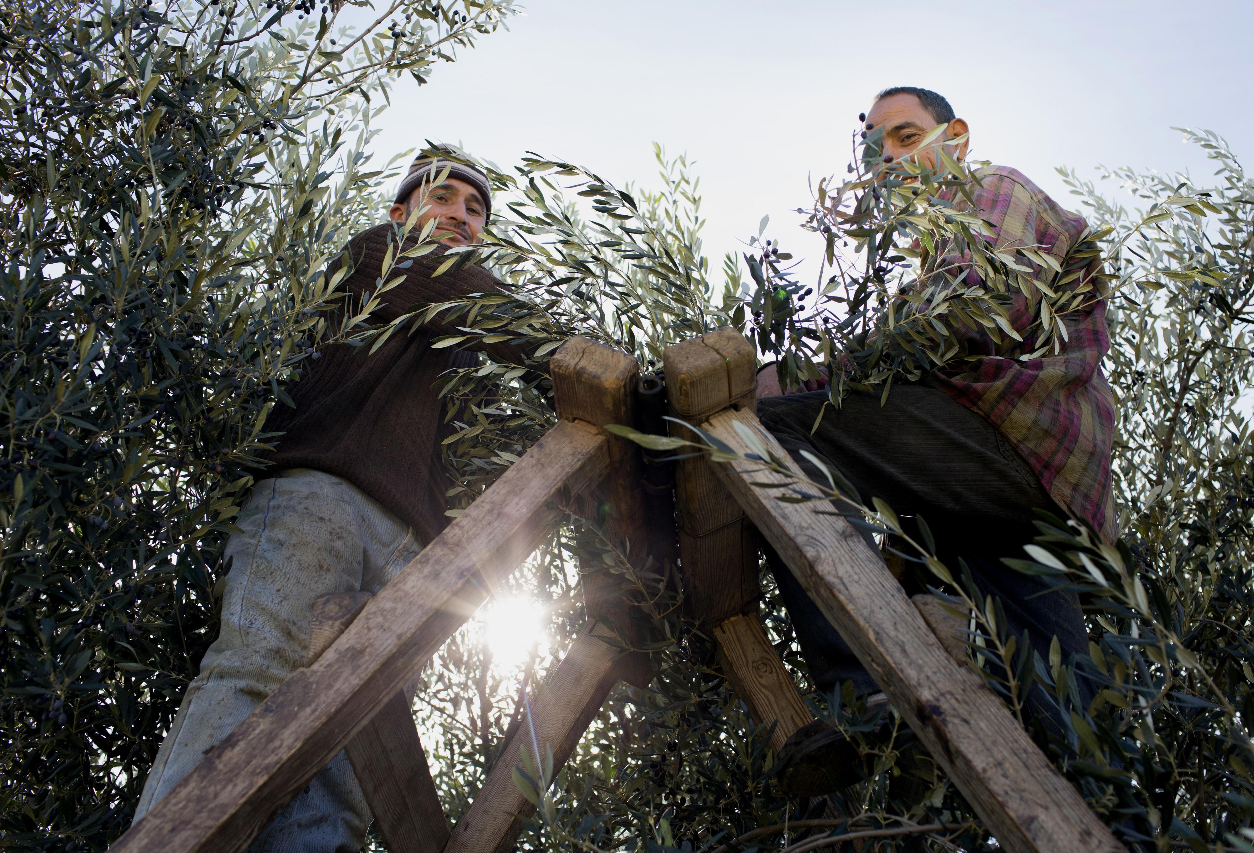 Olivenernte bei Kairouan, Tunesien