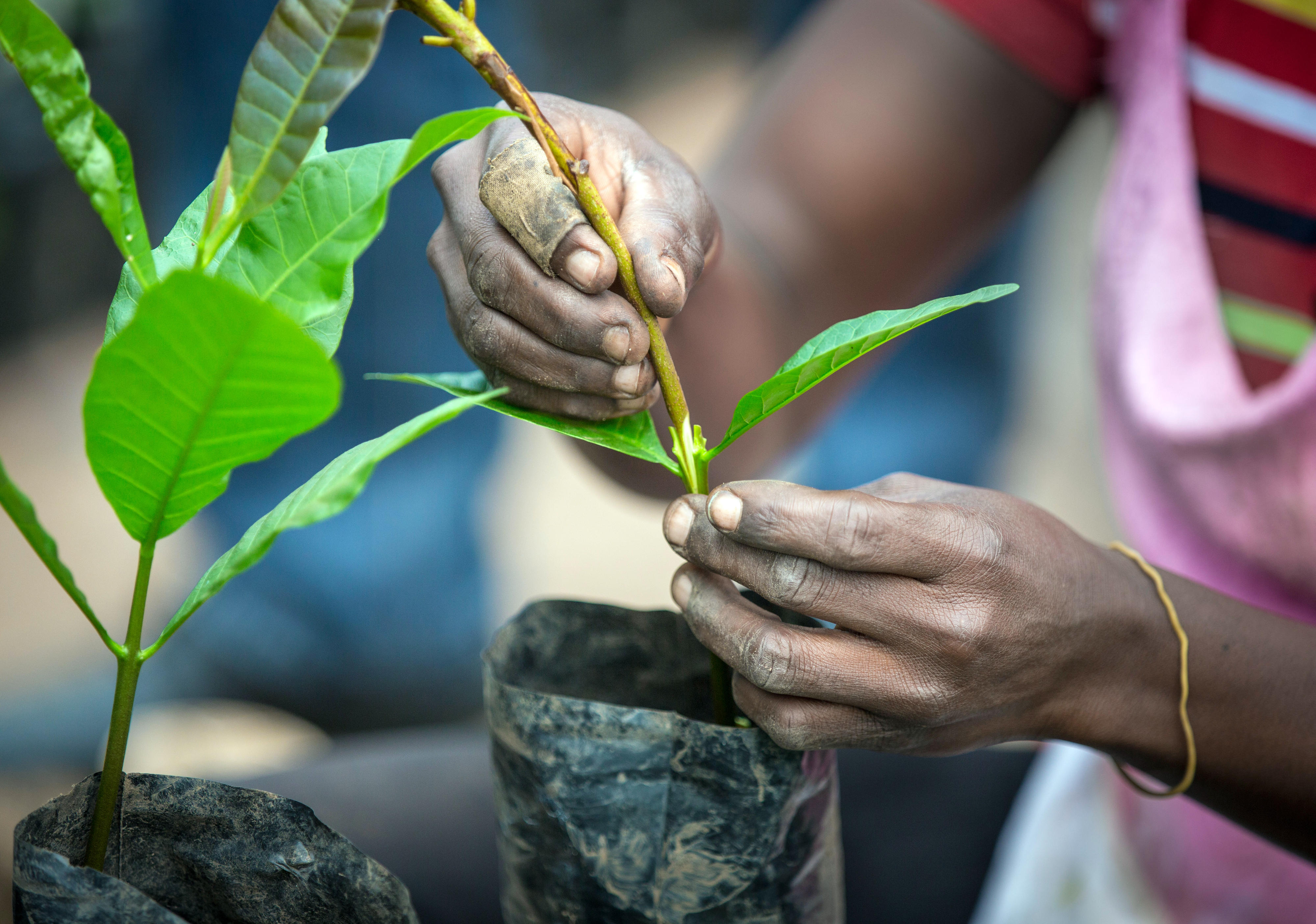 In einer Forschungseinrichtung in Wenchi (Ghana) werden Cashew-Pflanzen veredelt.
