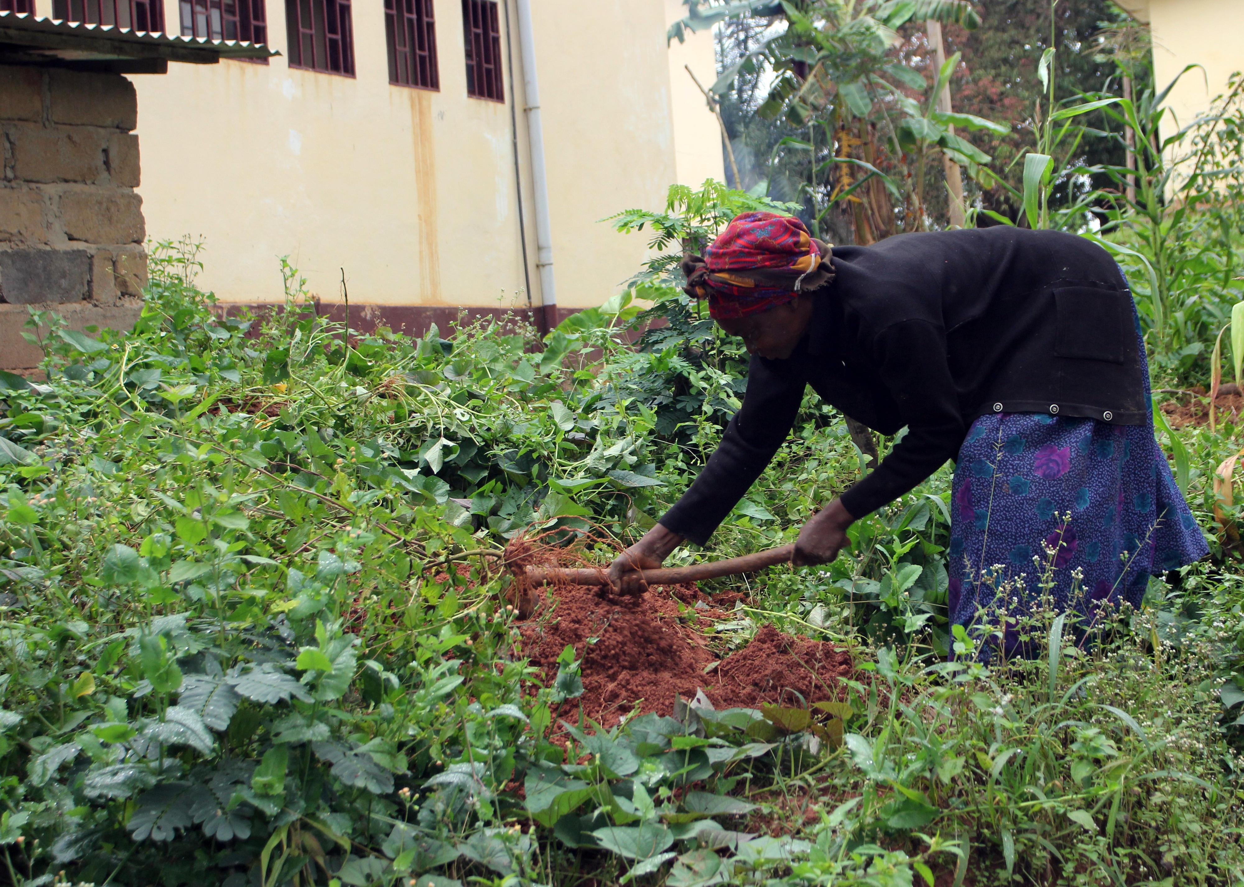 Yams-Ernte auf einer kleinen Farm in Bafia, Kamerun