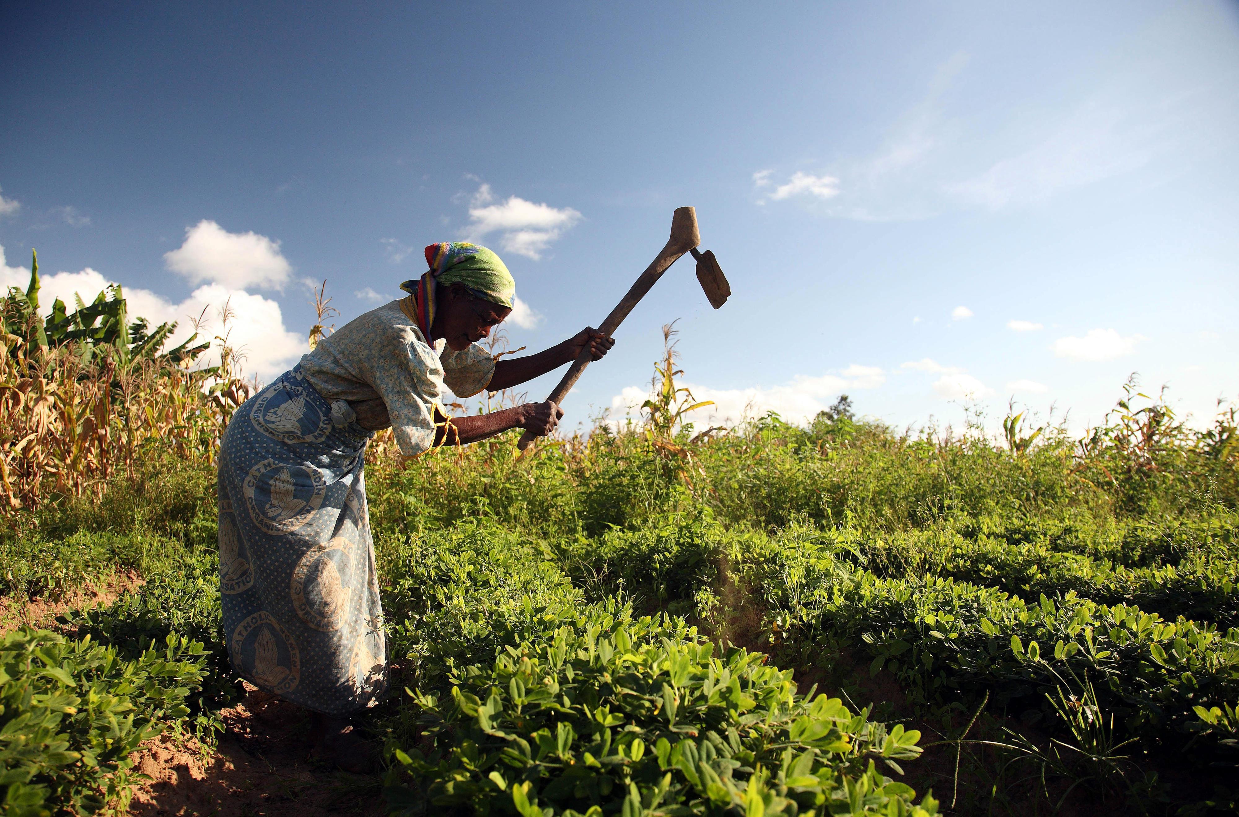 Eine Bäuerin in Malawi bearbeitet ihr Erdnussfeld.