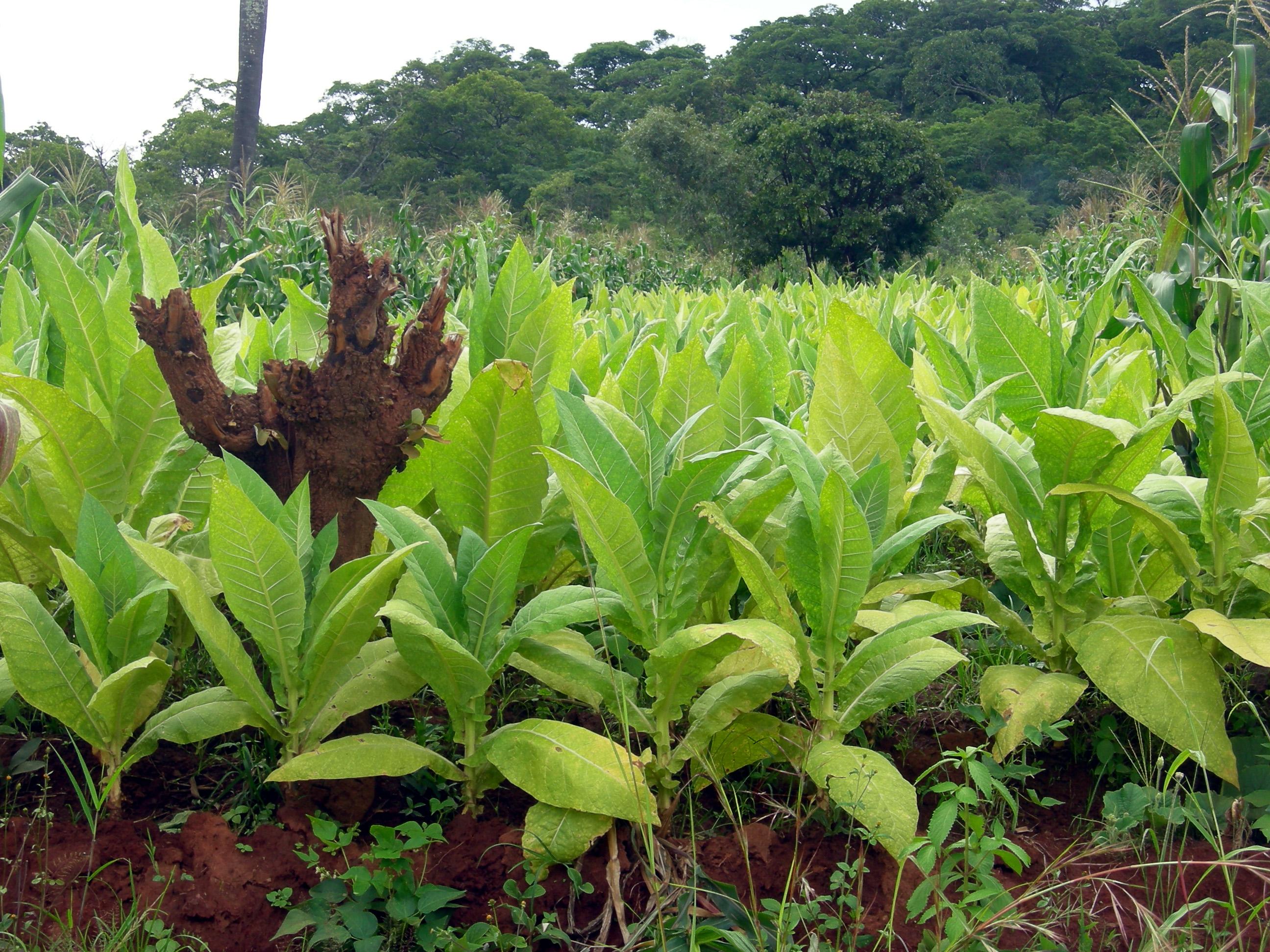Tabakanbau in Malawi