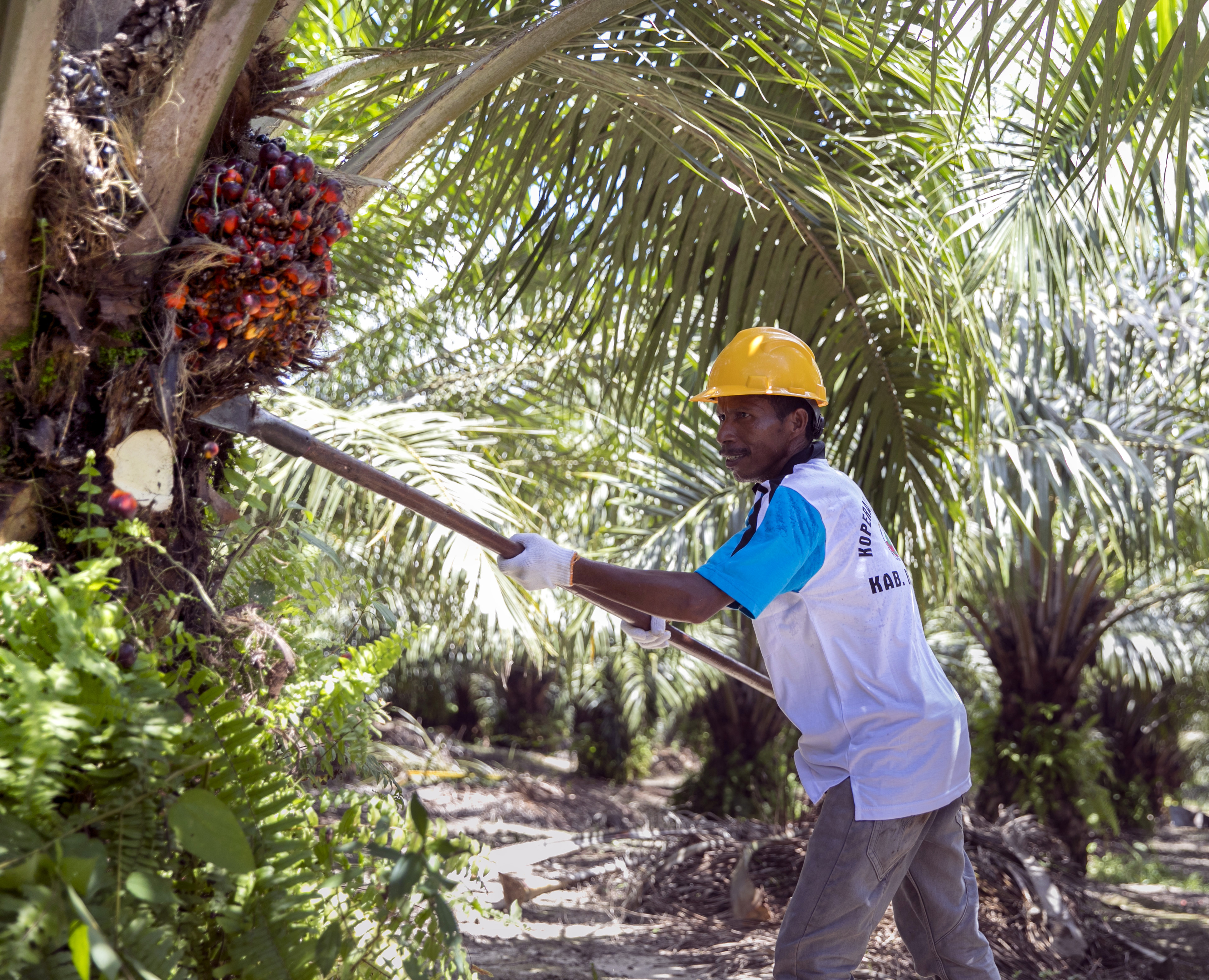 Worker harvesting palm oil fruit