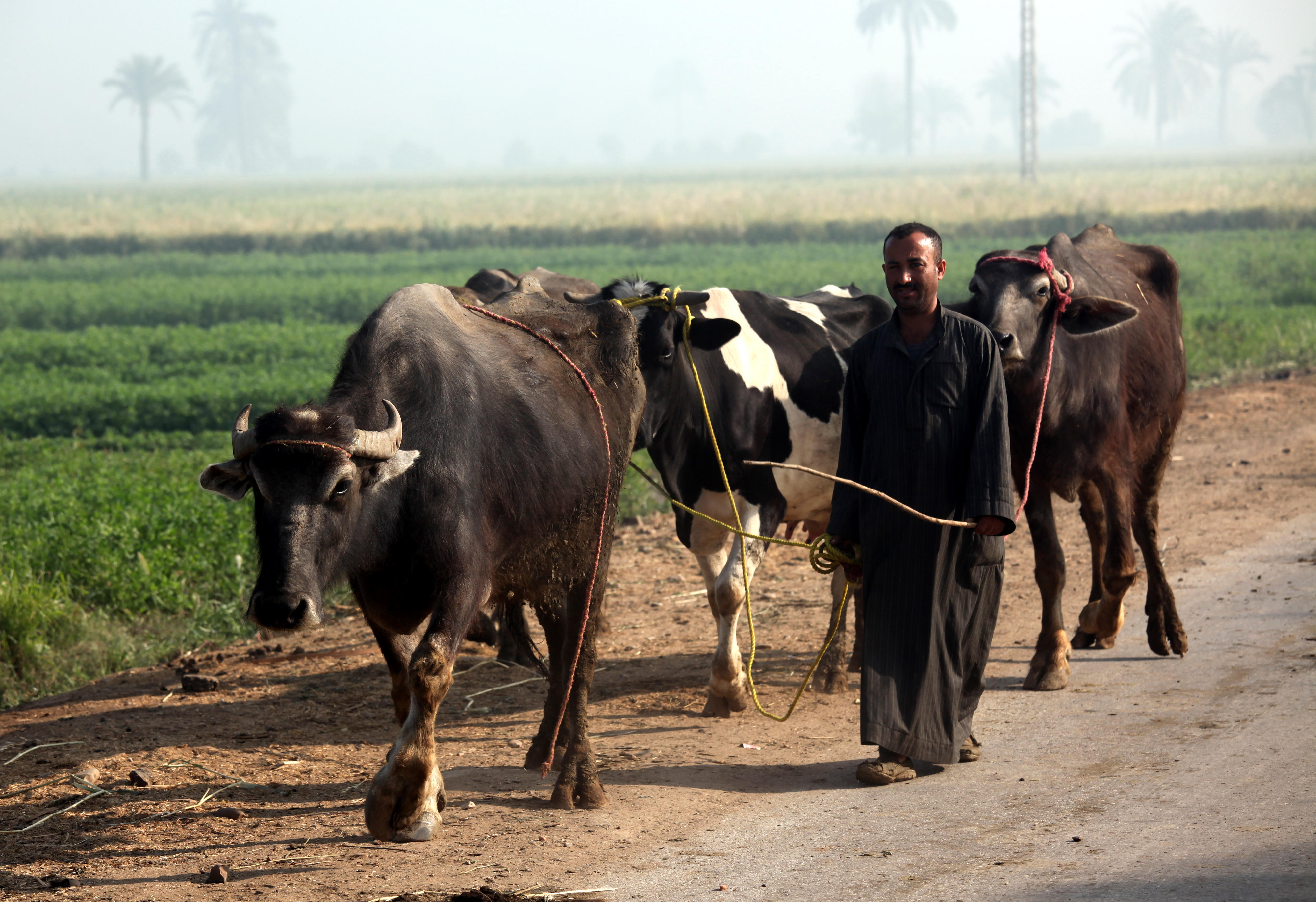 A farmer in the El Minya region of Egypt with two water buffaloes and a dairy cow