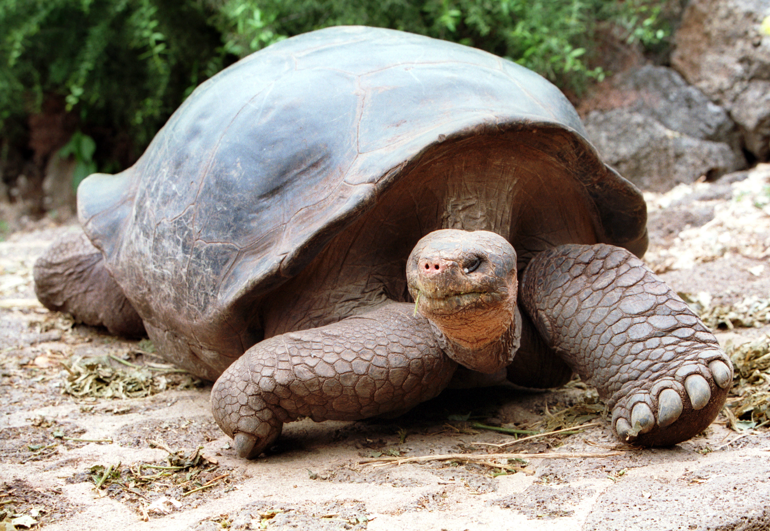 An approximately 100 year old Galapagos giant tortoise, Charles-Darwin research station on the island of Santa Cruz, Galapagos Islands, Ecuador