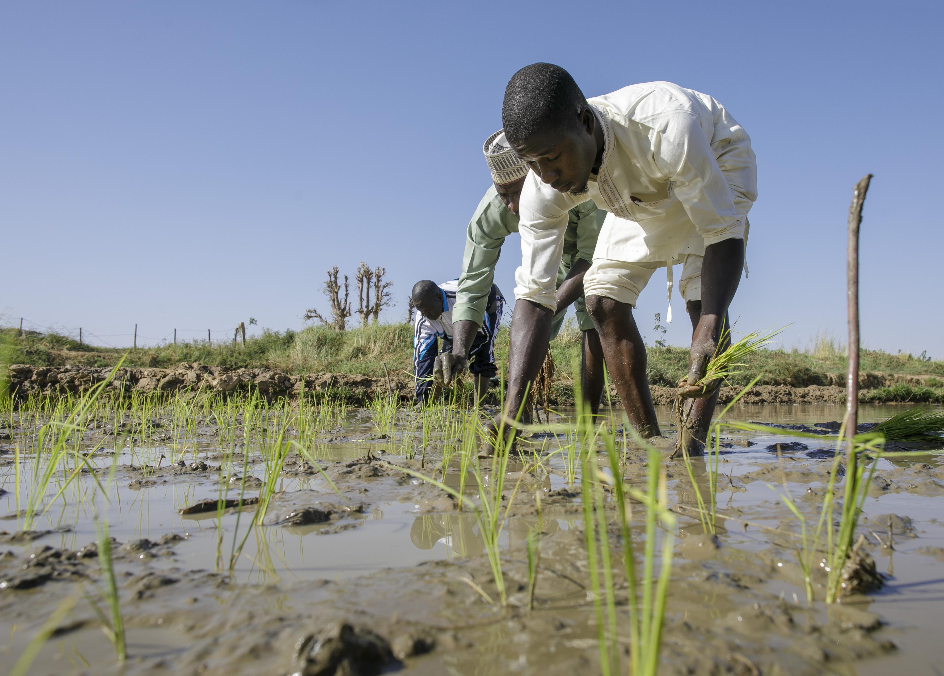 Reisbauern in Nigeria