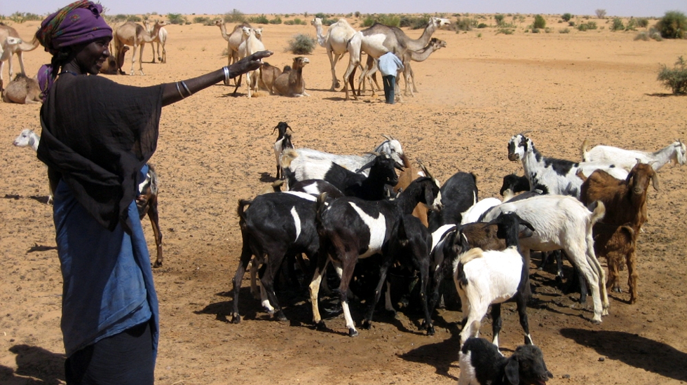 Women with goats and camels in Makanga