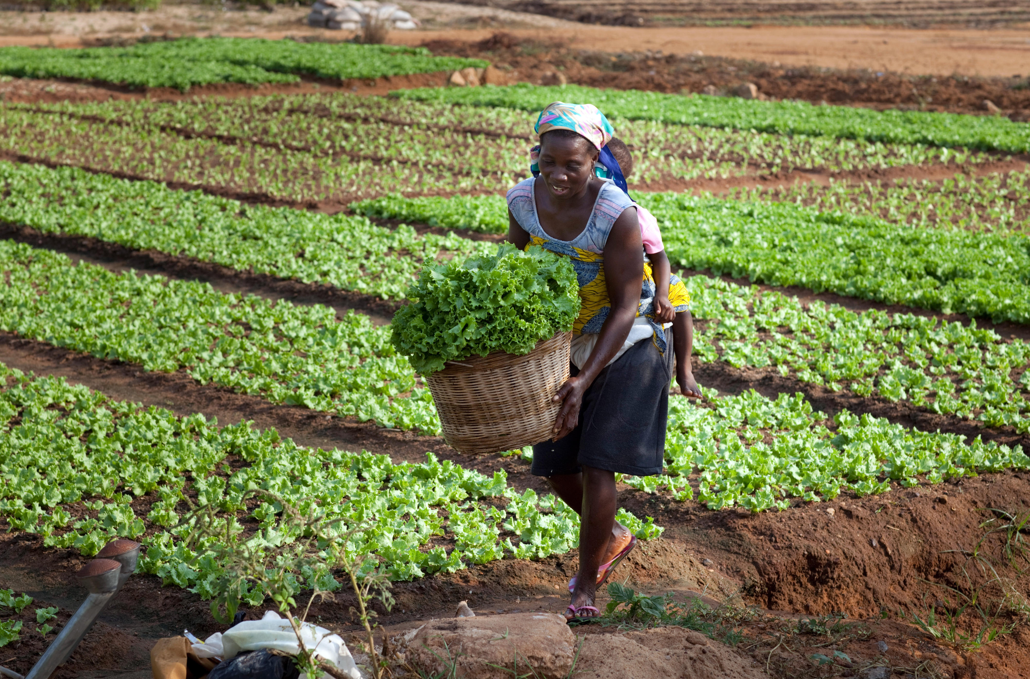 A woman in Togo harvesting salad
