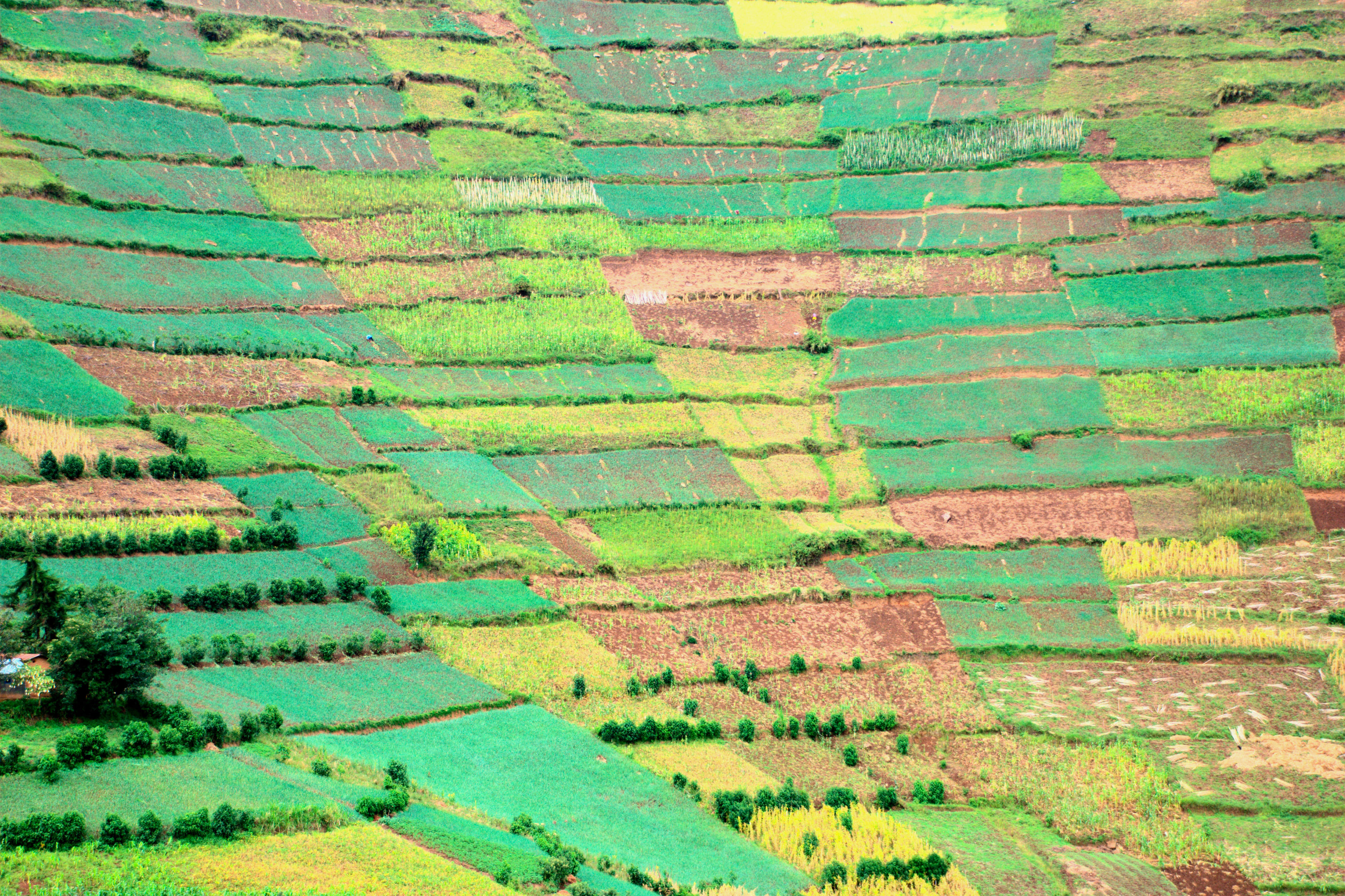 Onion fields on a hillside in southern Uganda
