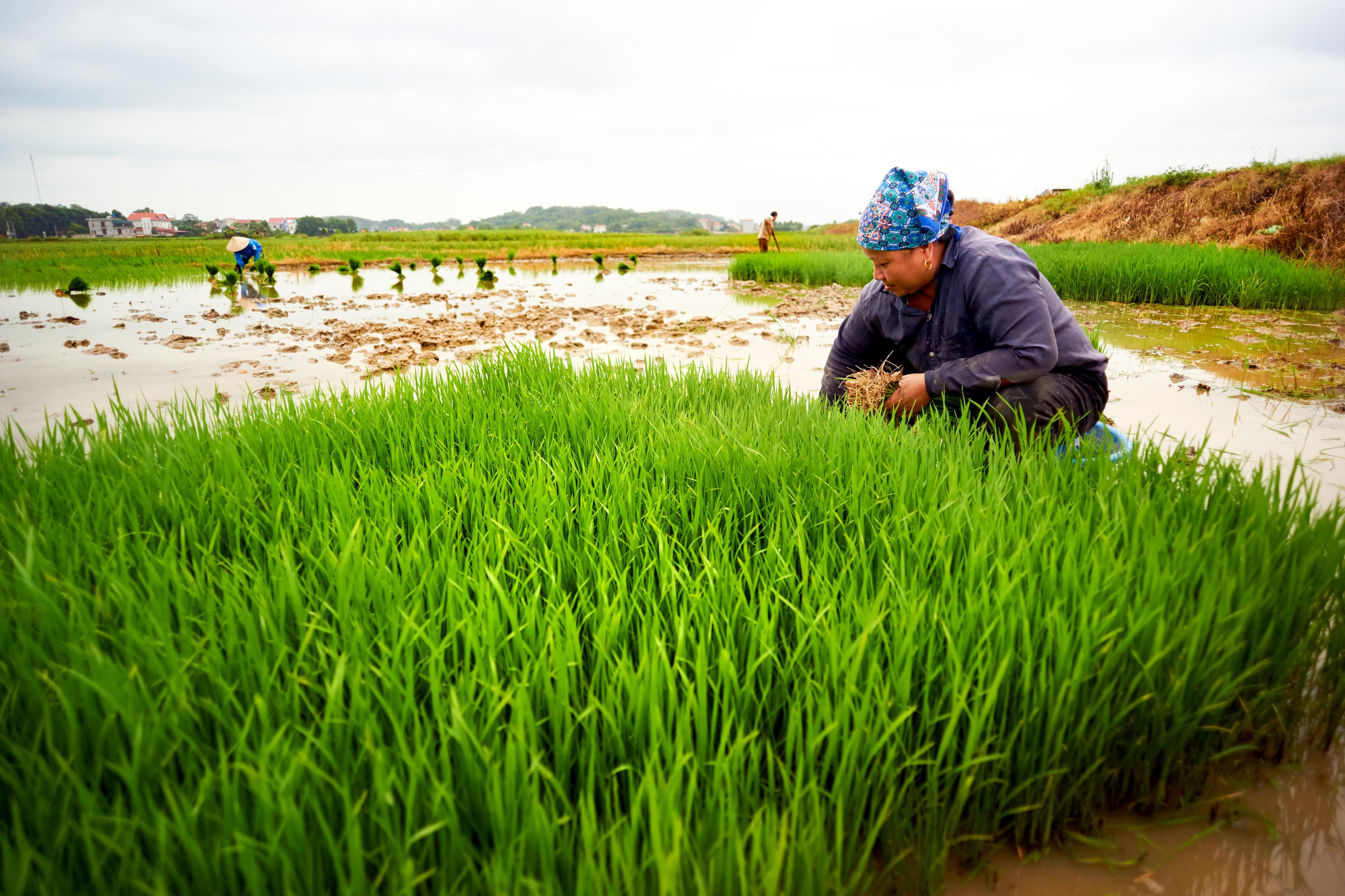 Einen Frau hockt ein einem überfluteten Reisfeld in Vietnam und bereitet Reissetzlinge für die Pflanzung vor.