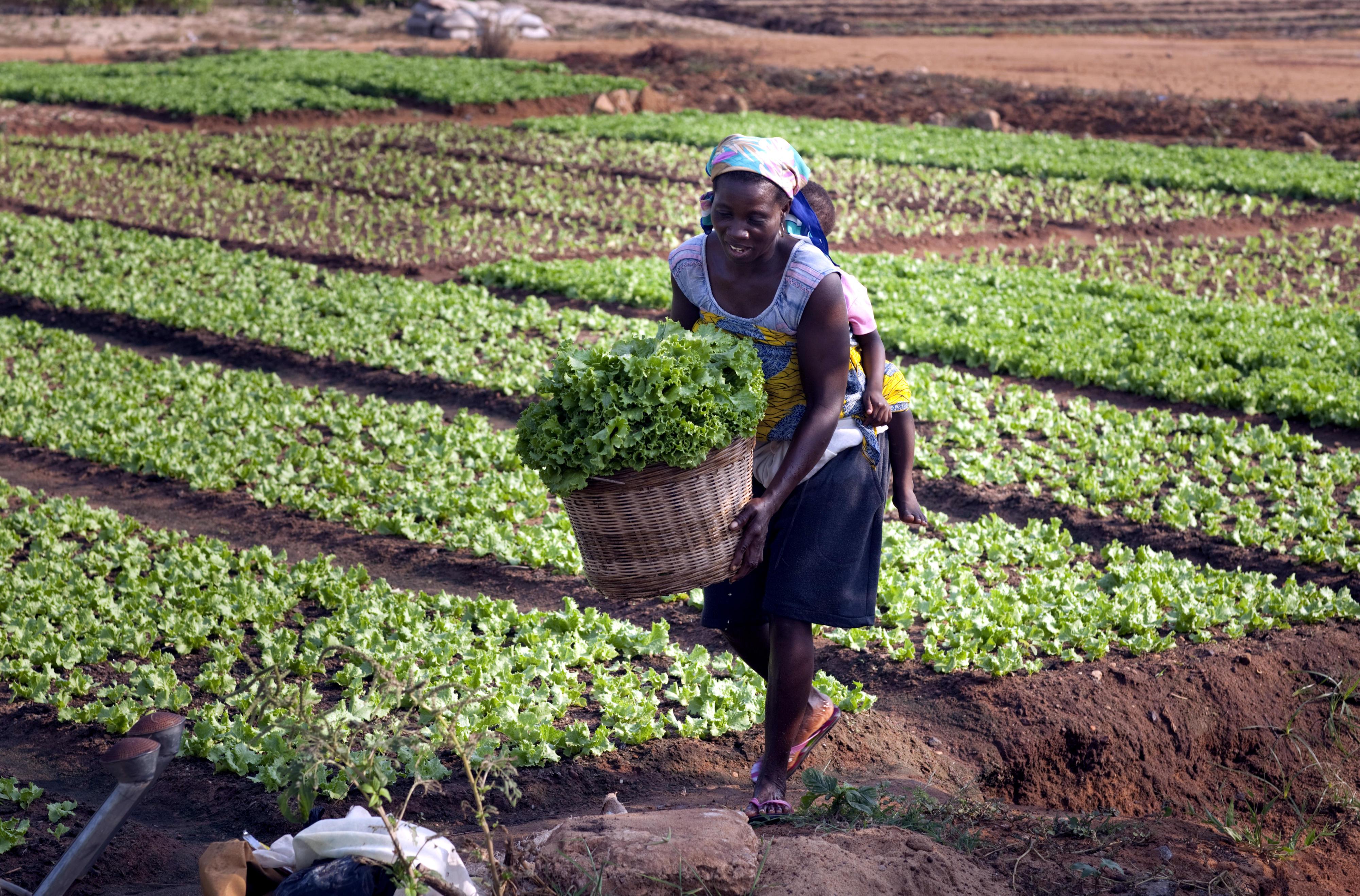 Eine Frau in Togo erntet Salat. Sie trägt ein Kleinkind auf dem Rücken.