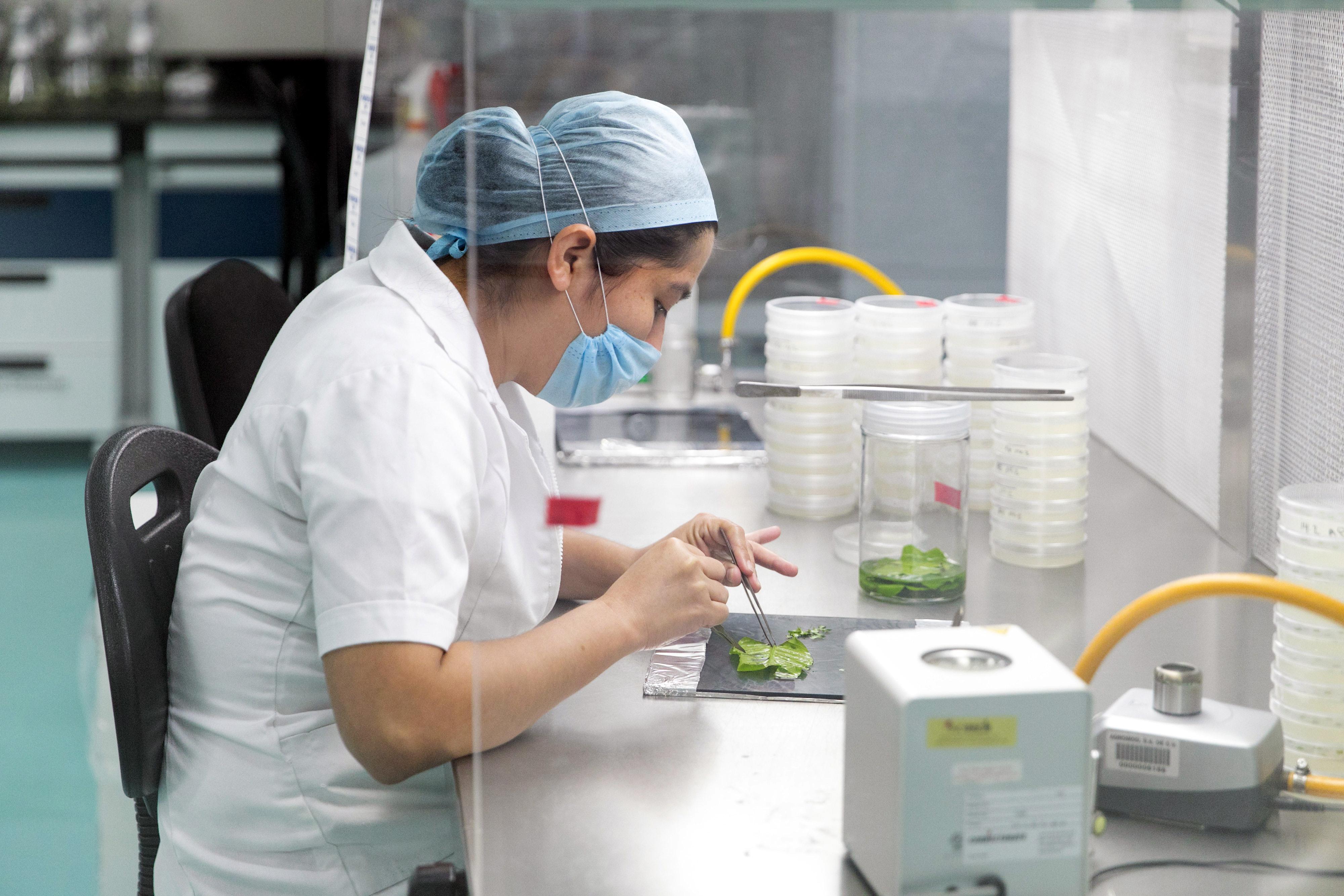Eine Laborantin in einem mexikanischen Unternehmen für Pflanzenzucht entnimmt Zellen aus einem Kaffeepflanzenblatt. Sie arbeitet mit Mundschutz und Pinzette.