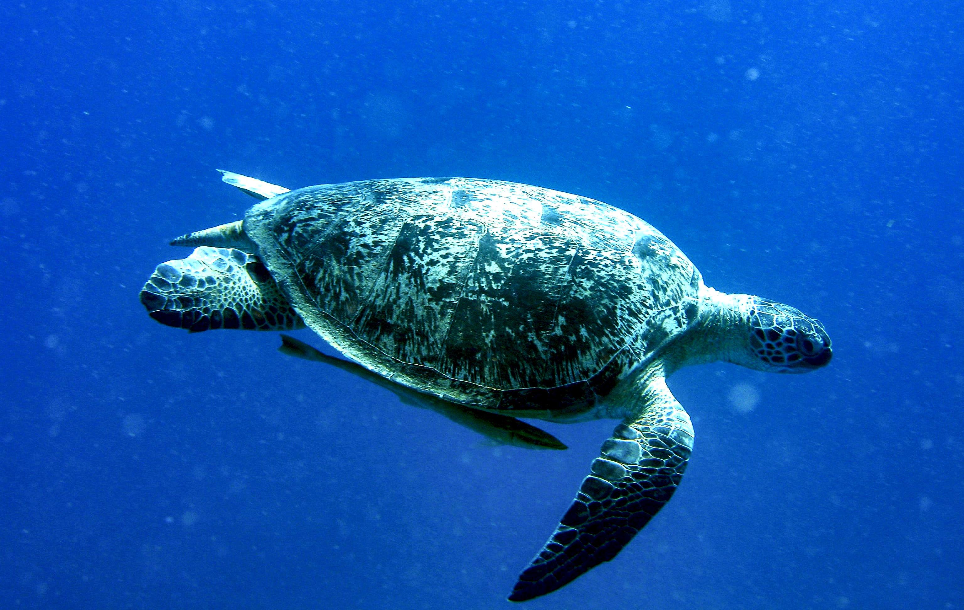 Grüne Meeresschildkröte, unter ihr schwimmt ein Begleitfisch (Bildausschnitt)