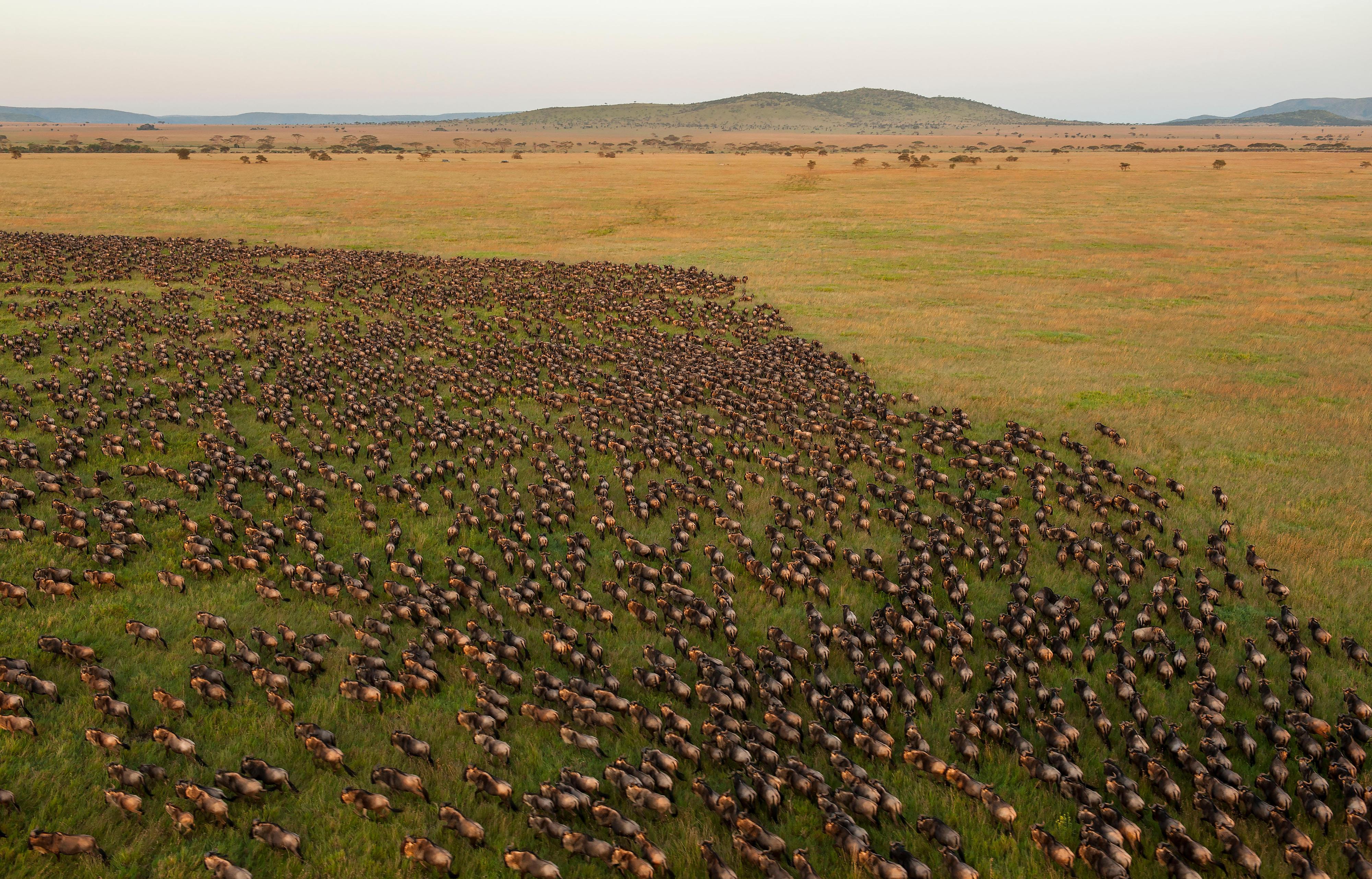 Gnus im Serengeti-Nationalpark in Tansania
